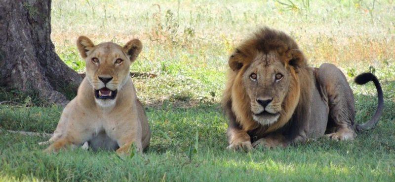Löwen haben Selbstvertrauen
